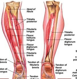 Anatomi Otot Fleksor Digitorum Longus: Origo, Insersio, Persarafan, Dan Fungsi