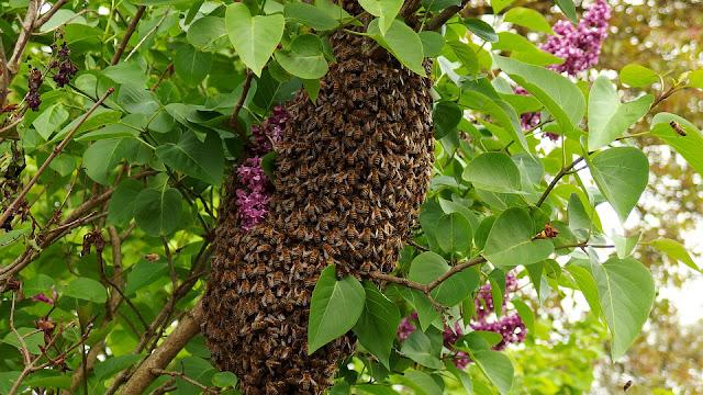Cara Memancing Lebah Madu Liar dengan Mudah