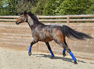 A dark bay horse trotting around an outdoor riding school wearing bright blue schooling boots