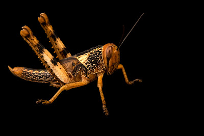 jenis belalang