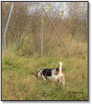 ein Beagle findet immer eine Spur