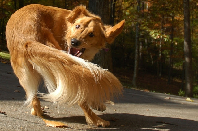 Why Do Dogs Chase Their Tails? The Fascinating Reason Behind Tail-Chasing