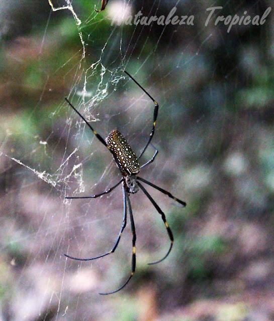 La araña de la seda de oro, Nephila clavipes
