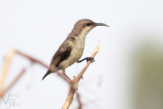 A female purple sunbird