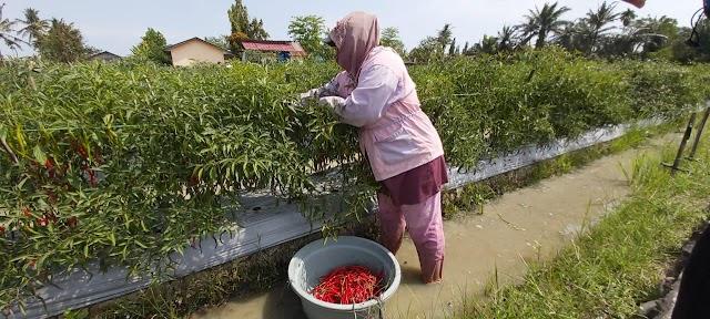 Seniwati, Manfaatkan Musim Panen Cabai Merah Sebagai Rezeki