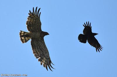 Àguila marcenca perseguint una cornella