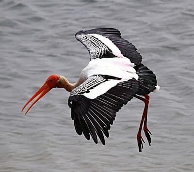 Pulicat Bird Sanctuary - Flamingos