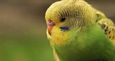 الطريقة الصحيحة في تربية طيور البادجي ( الأسترالي) شرط الزمان و المكان