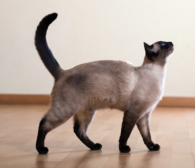 Siamese cat, standing. Photo via Adobe Stock.