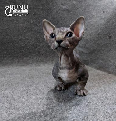Kitten Bambino Jantan