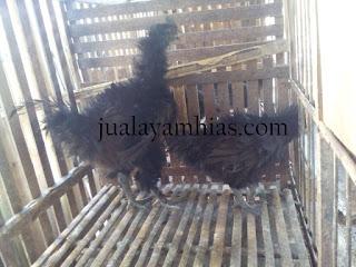 Ayam Cemani Walik Usia 4 Bulan