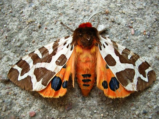 motyl nocny, ćma, owad, ściana