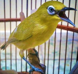Cara Dan Tips Akurat Memberikan Ef Yang Cocok Supaya Burung Pleci Buxtoni Ngotot Di Lapangan