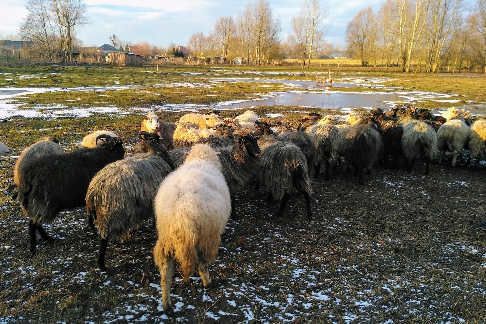 owce łąka pasienie