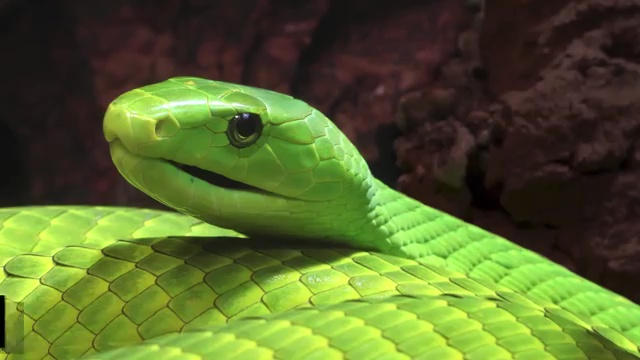 10 MOST VENOMOUS SNAKES ON EARTH, Green Mamba, most venomous snake, most poisonous snake, top ten venomous snake, top ten poisonous snake