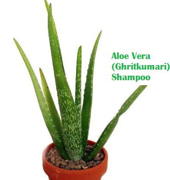 Aloe Vera (Ghritkumari) Shampoo