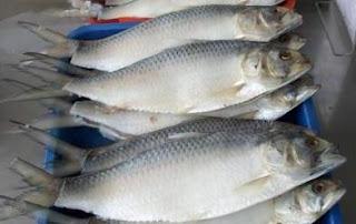 Sourvenier wajib dari Sarawak, Ikan Terubok Masin, Ikan Terubuk Masin