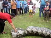Penemuan Ular Piton 6 Meter Di Kota Sabang Hebohkan Warga Setempat