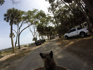 Hunting Island State Park in South Carolina riding a bicycle with Harley dog