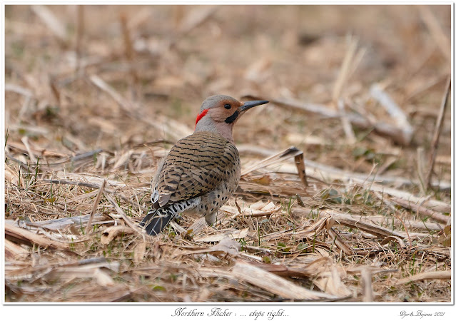Northern Flicker: ... steps right...