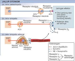 Lokasi reseptor muskarinik dan adrenergik