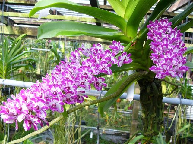 cach trong hoa phong lan