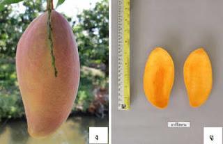 ต้นมะม่วง อาร์จี สยาม RG Siam พันธุ์ใหม่ หอมหวานมาก