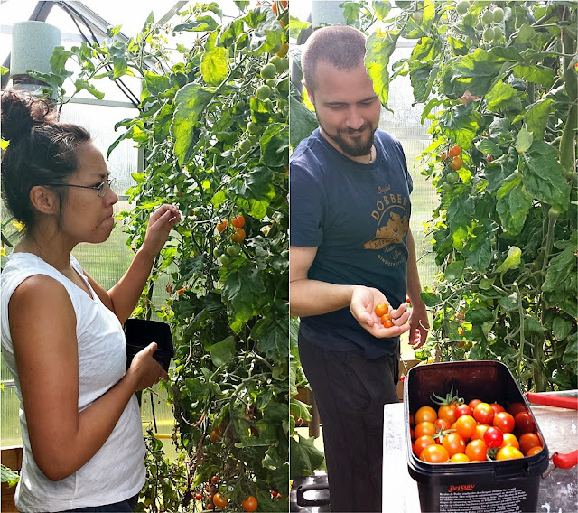 Picking tomatoes in a tiny greenhouse in Norway