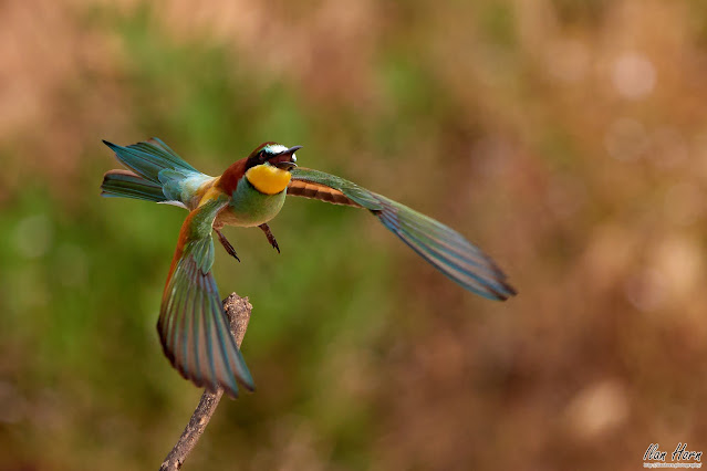 Bee-Eater Takeoff