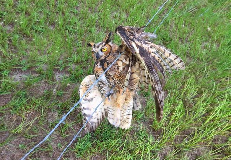 coruja presa numa vedação de arame farpado