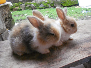 Cara menyapih anak kelinci yang benar