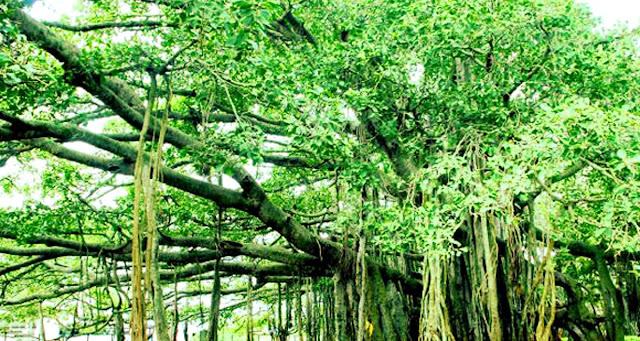 Wayanad Tree, Kerala