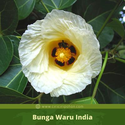 Ciri Ciri Bunga Waru India