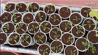 بطريقة سهلة، ازرع طماطم من البذور في بيتك.