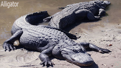 alligator reptile