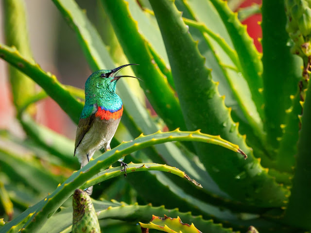 Benefits Of Aloe Vera On Face Overnight: 31 Amazing Of Aloe Vera For Hair, Skin,  Medical Uses