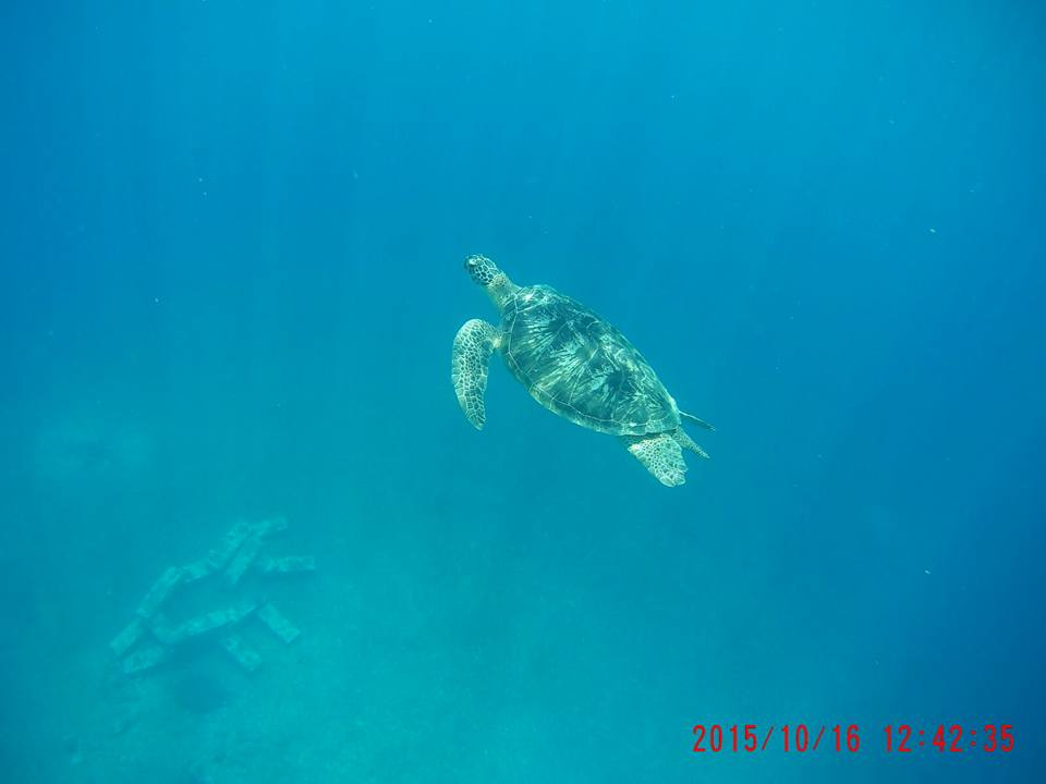 Bali Turtle