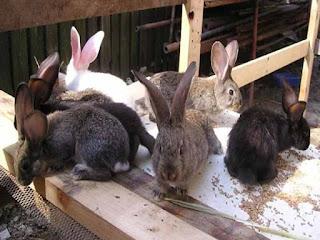 bibit kelinci baik dan unggul