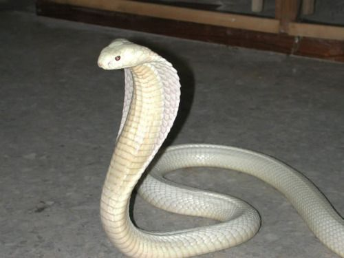 Cobra | A-Z List of 125 Rare Albino Animals [Pics]