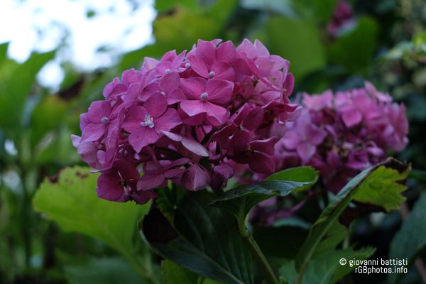Fiore di ortensia rosa intenso