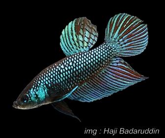 ikan petarung-ikan cupang aduan