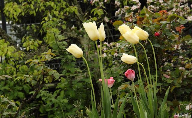 Tulipes inclinées sous la pluie et le vent