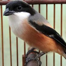 Penyebab Dan Cara Mengatasi Burung Cendet Sering Ngetem