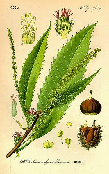 caastañasProf. Dr. Otto Wilhelm Thomé ''Flora von Deutschland, Österreich und der Schweiz'' 1885