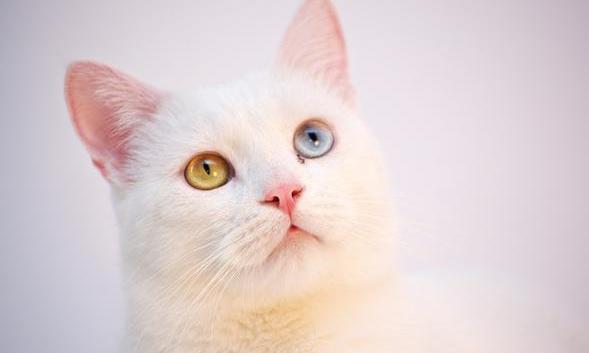 jenis-jenis kucing anggora