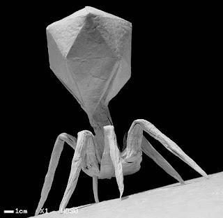 Бактериофаг Вирус древний Современный нанит наноробот был сотворён ещё во времена древние, далёкие     Вирус сотворили очень давно О нём рассказано в древнем Манускрипте Войнич. Подробно показываю в фильме  Моя расшифровка рукописи Войнич ufospace  Вирус к 2020 году запрограммирован как эпидемия чумы, от которой нет лекарств. Но я полагаю, что лекарство есть и оно доступно каждому, лекарство бесплатно и очень эффективно.             Бактериофаг T4 (англ. Escherichia virus T4, ранее Enterobacteria phage T4) — один из самых изученных вирусов, бактериофаг, поражающий энтеробактерии, в том числе Escherichia coli. Имеет геномную ДНК порядка 169—170 тысяч пар нуклеотидов, упакованную в икосаэдрическую головку.           Вирион также имеет ствол, основание ствола и стволовые отростки — шесть длинных и шесть коротких.                  Бактериофаг T4 использует ДНК-полимеразу кольцевого типа; его скользящая манжетка является тримером, сходным с PCNA, но она не имеет гомологии ни с PCNA, ни с полимеразой β.           T4 является относительно крупным фагом, имеет диаметр около 90 нм и длину около 200 нм. Фаг T4 использует только литический цикл развития, но не лизогенный.            С фагом Т4 или подобными бактериофагами работали лауреаты Нобелевской премии Макс Дельбрюк, Сальвадор Лурия, Альфред Херши, Джеймс Уотсон и Френсис Крик, а также другие известные ученые — Майкл Россманн, Вадим Месянжинов, Фумио Арисака, Сеймур Бензер, Брюс Альбертс.                        В 2016 году, как и другие бактериофаги, был переименован в Escherichia virus T4.