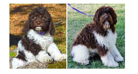 parti-labradoodle-colors-and-adult