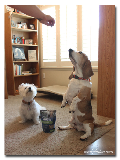 Basset sitting up and Westie watching
