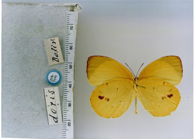 Mariposa limoncito (Eurema deva)