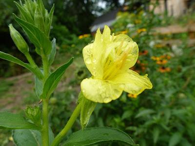 Common Yellow Garden Flowers little city farm: august garden flowers - the yellow & orange edition